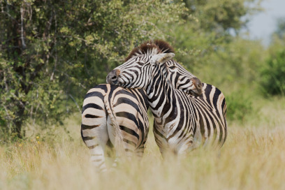 Zebras in the Kruger Park