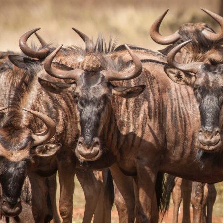 Bucks in the Kruger Park